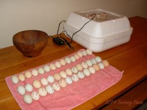 Eggs Ready for Incubator